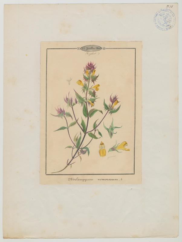 Mélampyre des bois ; plante à fleurs_0