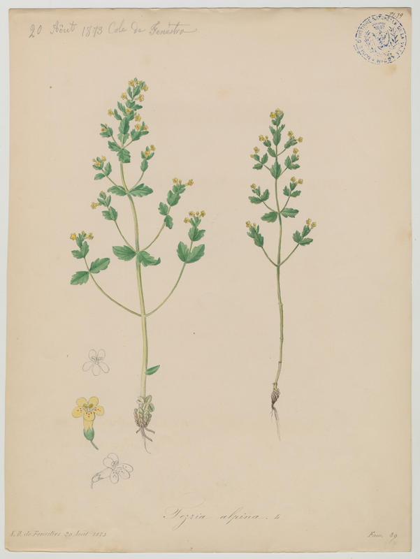 BARLA Jean-Baptiste (attribué à) : Tozzie des Alpes, plante à fleurs
