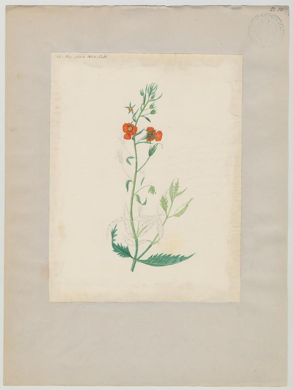 BARLA Jean-Baptiste (attribué à) : plante à fleurs