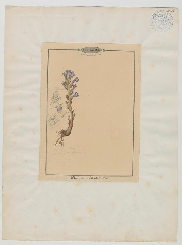 Orobanche du chanvre ; plante à fleurs_0