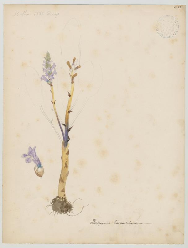 BARLA Jean-Baptiste (attribué à) : Orobanche couleur de lavande, plante à fleurs