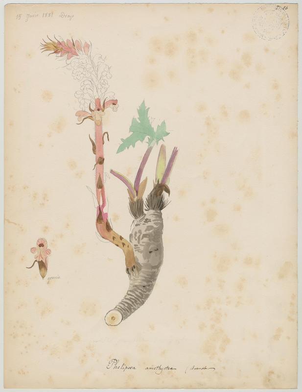 BARLA Jean-Baptiste (attribué à) : Orobanche couleur d'améthyste, Orobanche couleur d'améthyste, plante à fleurs