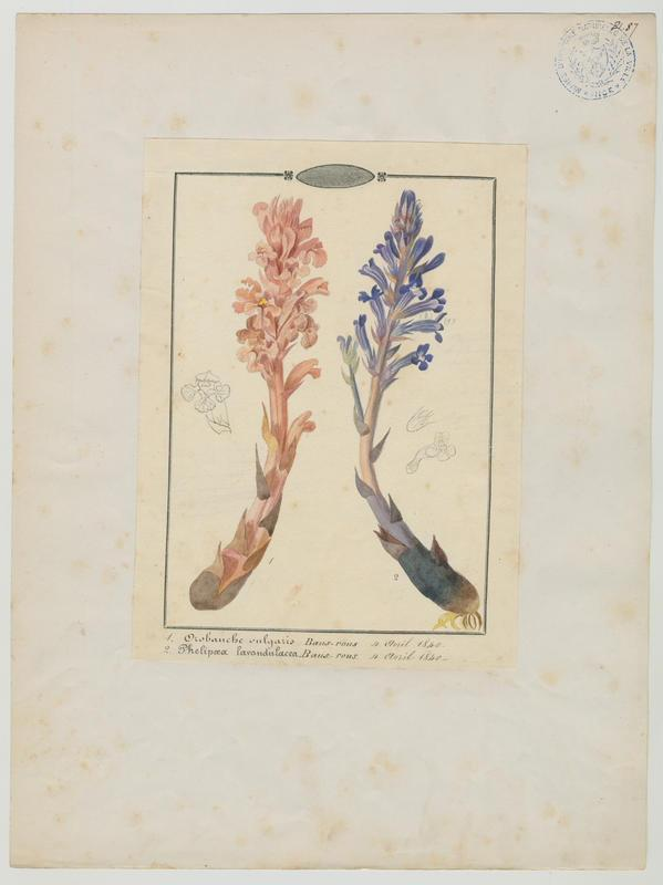 Orobanche couleur de lavande ; plante à fleurs_0