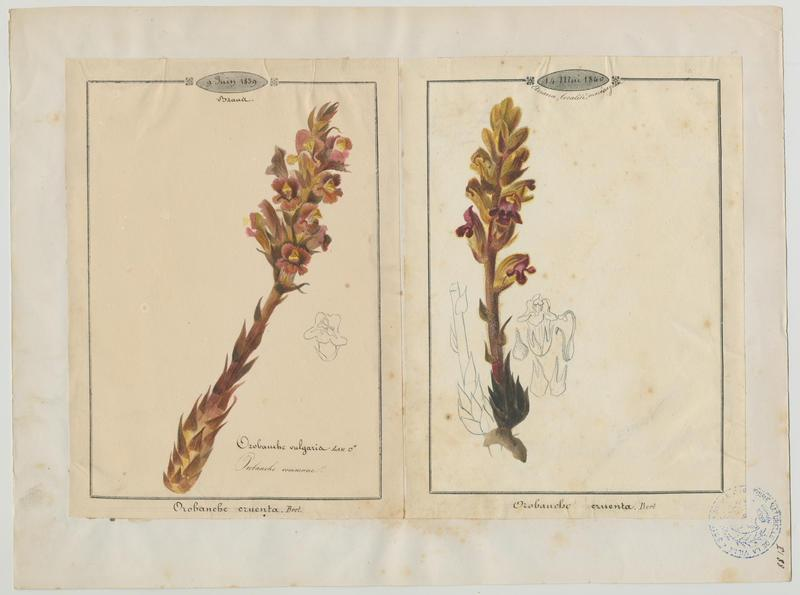 BARLA Jean-Baptiste (attribué à) : Orobanche commune, plante à fleurs