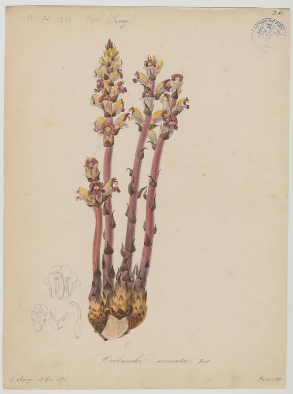 Orobanche grêle ; plante à fleurs_0