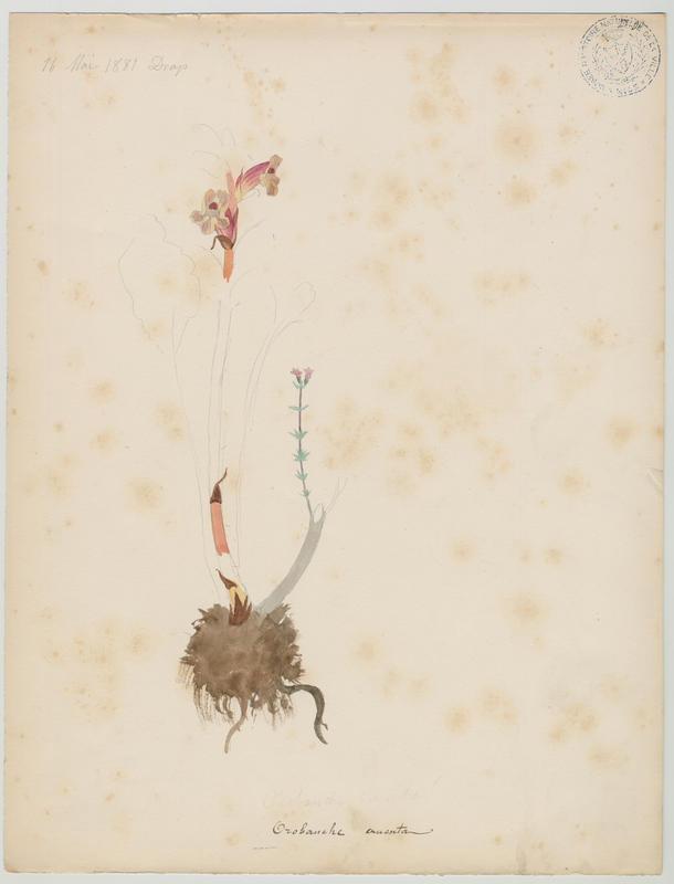 BARLA Jean-Baptiste (attribué à) : Orobanche grêle, plante à fleurs