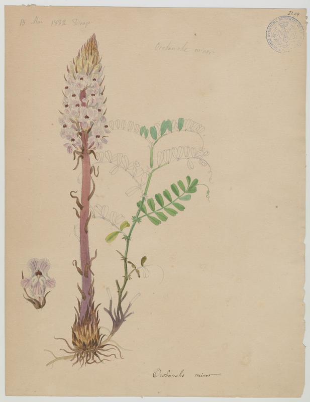 Orobanche du trèfle ; plante à fleurs_0