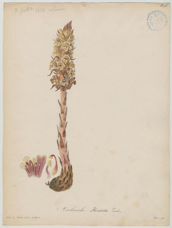 Orobanche du lierre ; plante à fleurs_0