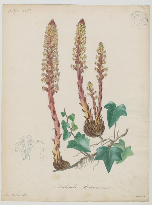 BARLA Jean-Baptiste (attribué à) : Orobanche du lierre, plante à fleurs