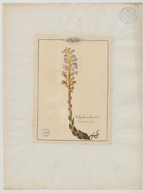 BARLA Jean-Baptiste (attribué à) : Orobanche bleue, plante à fleurs