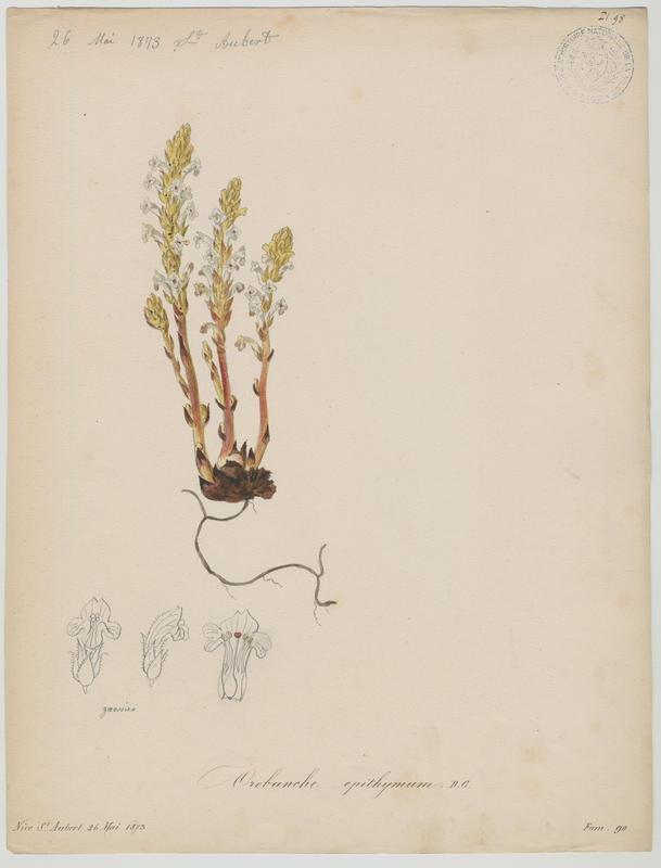 BARLA Jean-Baptiste (attribué à) : Orobanche blanche, plante à fleurs