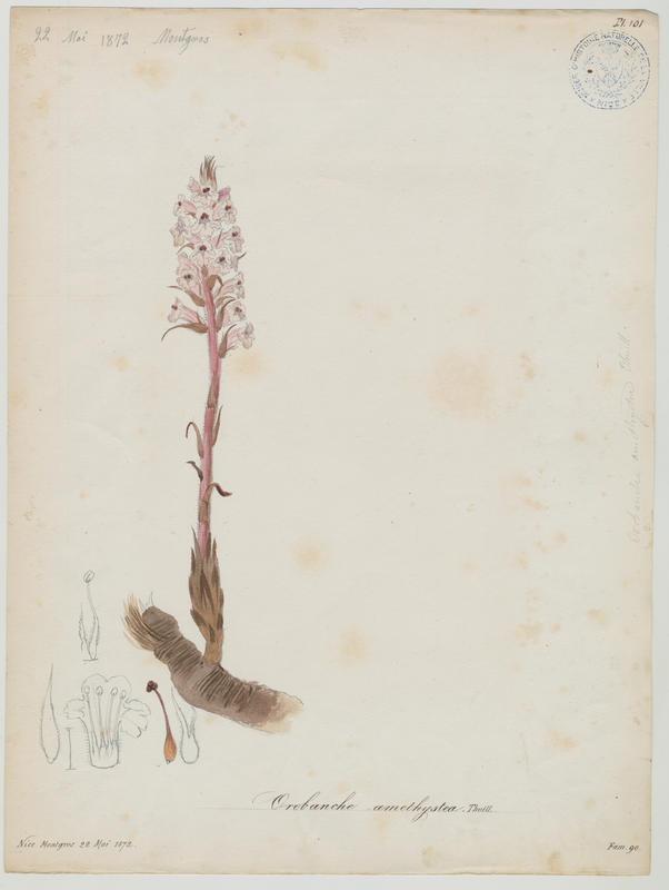 Orobanche couleur d'améthyste ; Orobanche du panicaut ; plante à fleurs_0