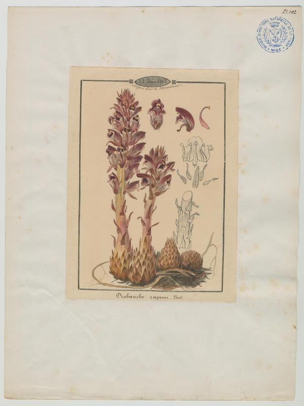 BARLA Jean-Baptiste (attribué à) : Orobanche du genêt, plante à fleurs