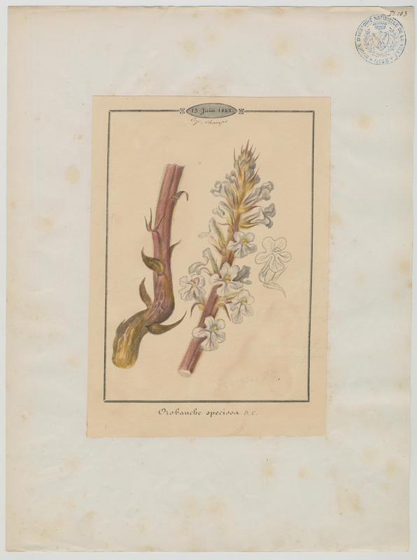 Orobanche crénelée ; plante à fleurs_0