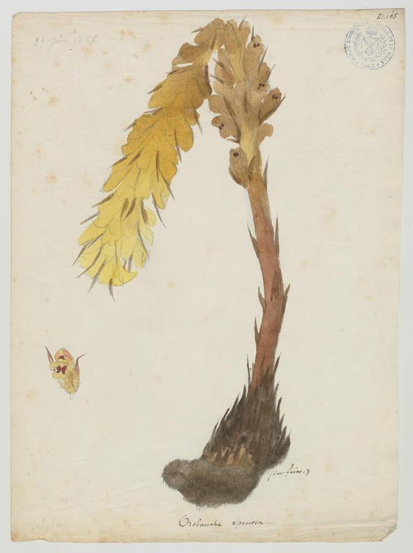 BARLA Jean-Baptiste (attribué à) : Orobanche crénelée, plante à fleurs