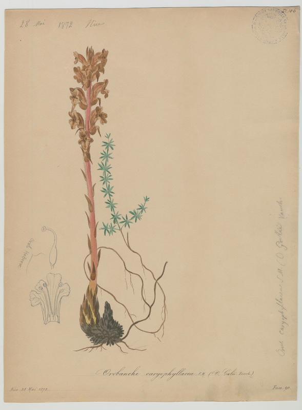 BARLA Jean-Baptiste (attribué à) : Orobanche à odeur d'œillet, Orobanche du gaillet, Orobanche giroflée, plante à fleurs