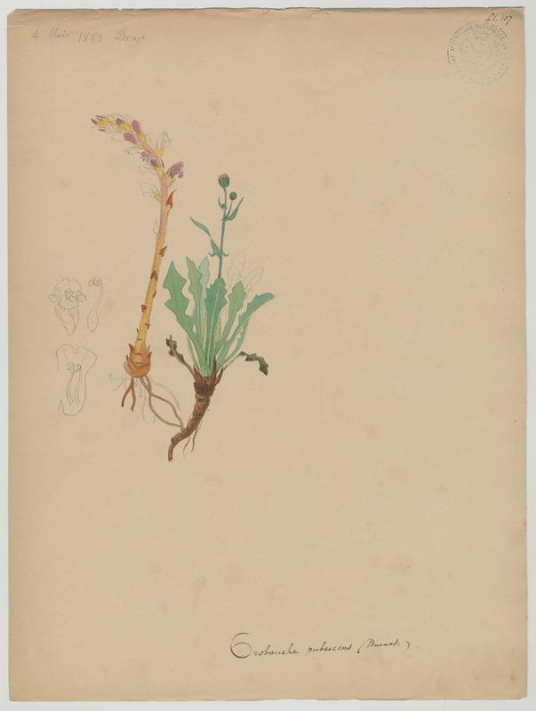 BARLA Jean-Baptiste (attribué à) : Orobanche pubescente, plante à fleurs