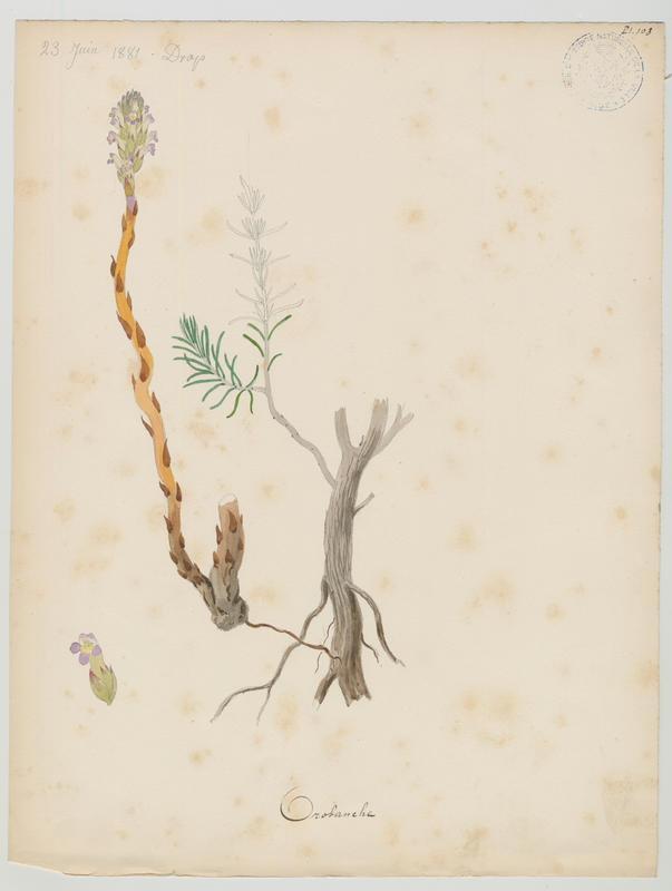 BARLA Jean-Baptiste (attribué à) : Orobanche, plante à fleurs
