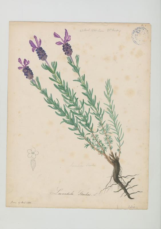 FOSSAT Vincent (aquarelliste, peintre) : Lavande à toupet, plante à fleurs