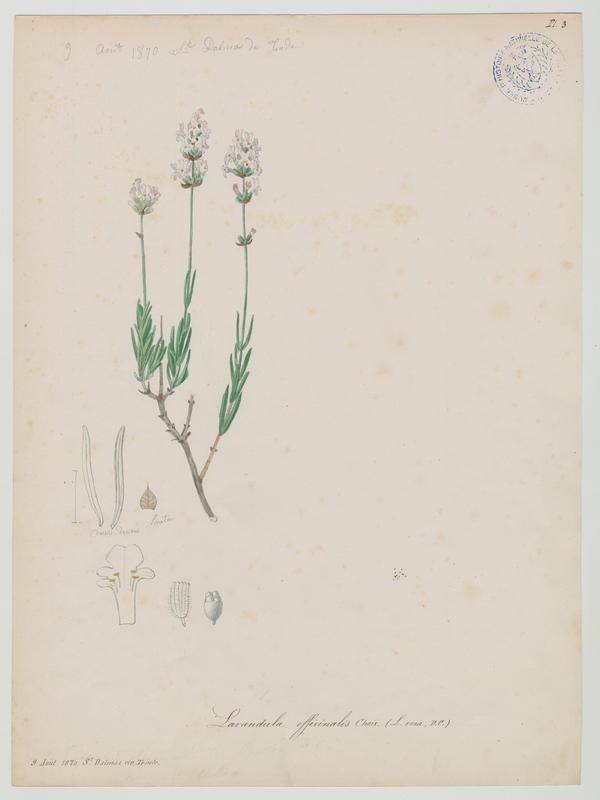 Lavande officinale ; Lavande vraie ; Lavande à feuilles étroites ; plante à fleurs_0