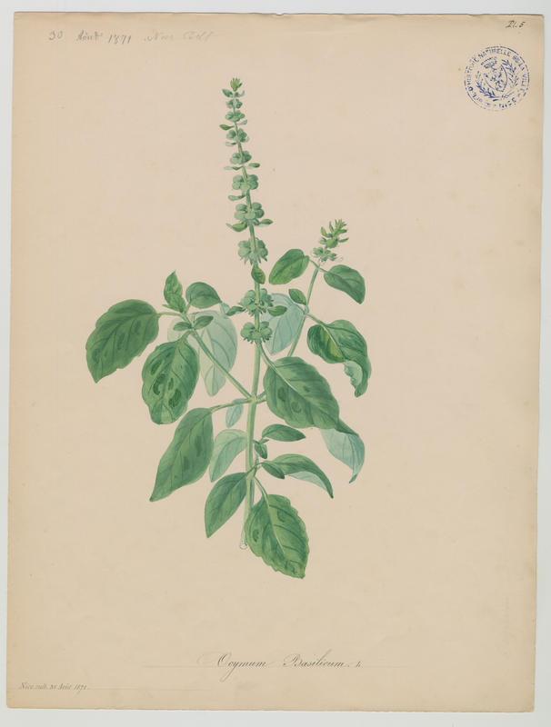 BARLA Jean-Baptiste (attribué à) : Basilic, plante à fleurs
