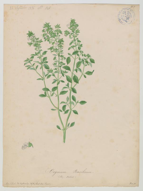 FOSSAT Vincent (aquarelliste, peintre) : Basilic, Balico, plante à fleurs