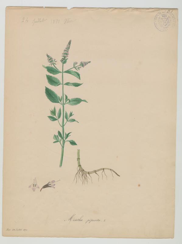 BARLA Jean-Baptiste (attribué à) : Menthe poivrée, plante à fleurs