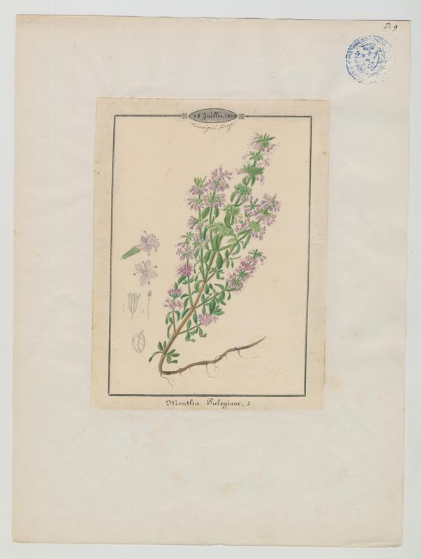 Menthe pouliot ; plante à fleurs_0