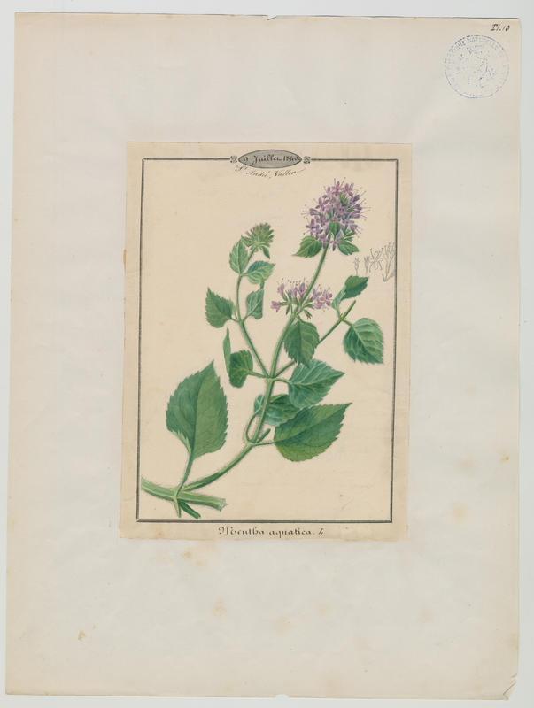 BARLA Jean-Baptiste (attribué à) : Menthe aquatique, plante à fleurs