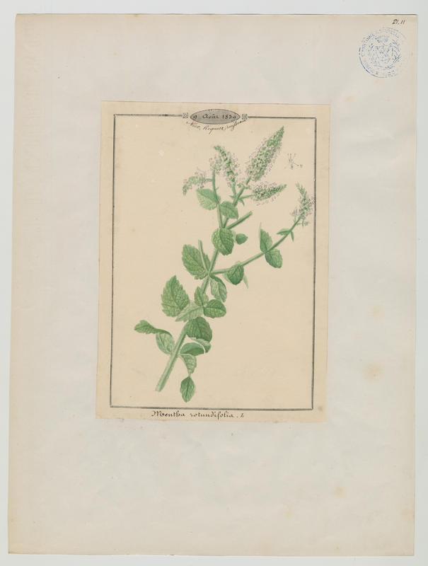 Menthe à feuilles rondes ; plante à fleurs_0