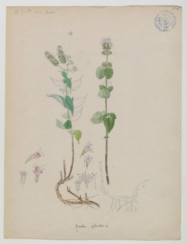 Menthe à feuilles longues ; plante à fleurs_0