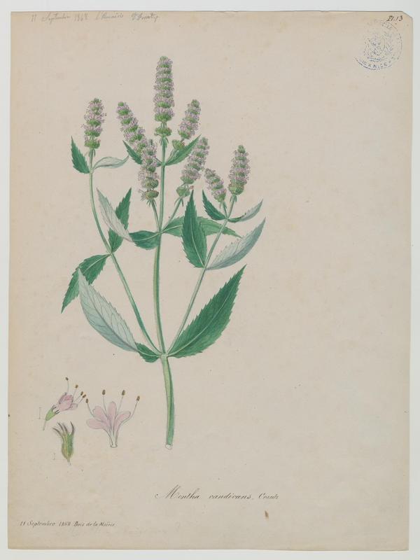 FOSSAT Vincent (aquarelliste, peintre) : Menthe à feuilles longues, plante à fleurs