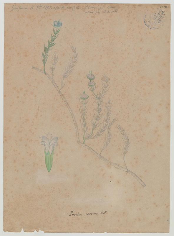 Menthe des cerfs ; plante à fleurs_0