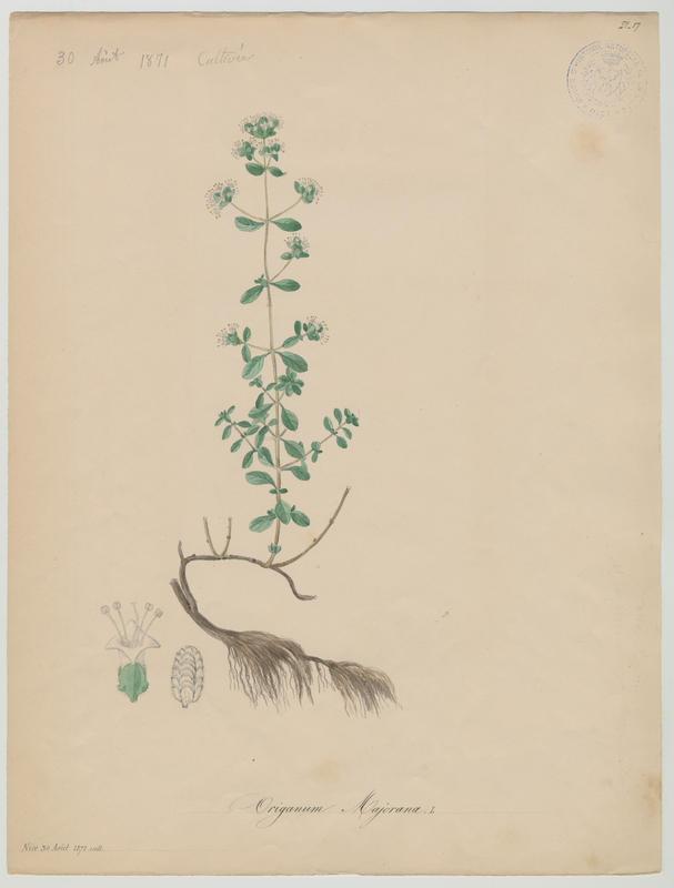 Marjolaine ; Origan des jardins ; plante à fleurs_0