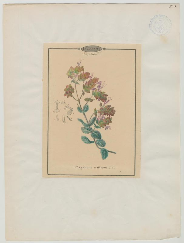BARLA Jean-Baptiste (attribué à) : Dictame de Crète, plante à fleurs