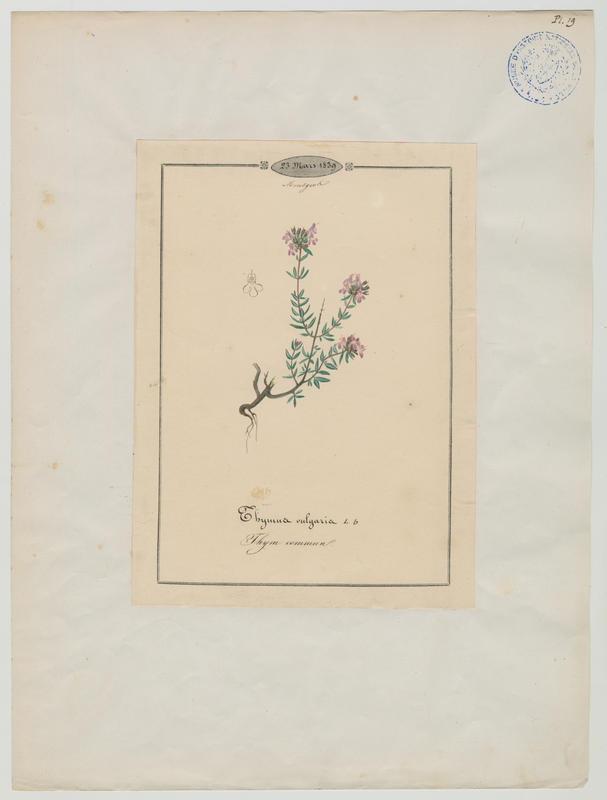 BARLA Jean-Baptiste (attribué à) : Thym commun, plante à fleurs
