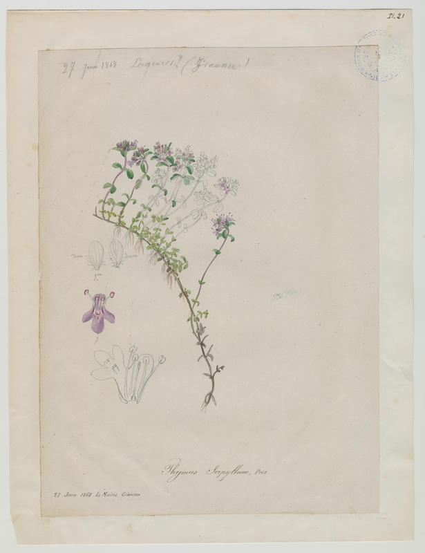 BARLA Jean-Baptiste (attribué à) : Serpolet, Thym serpolet, plante à fleurs