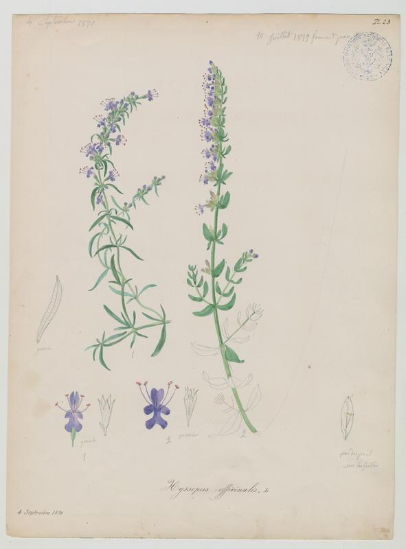 BARLA Jean-Baptiste (attribué à) : Hysope, Hysope officinale, plante à fleurs