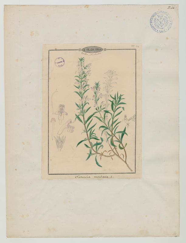 Sarriette des montagnes ; plante à fleurs_0