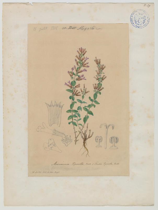 BARLA Jean-Baptiste (attribué à) : Sariette marginée, Micromérie marginée, plante à fleurs