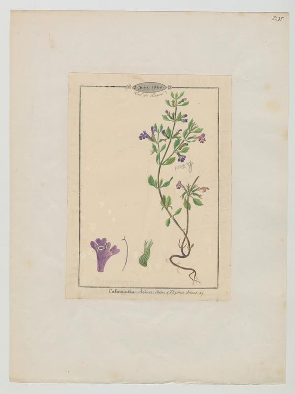 BARLA Jean-Baptiste (attribué à) : Calament des champs, plante à fleurs