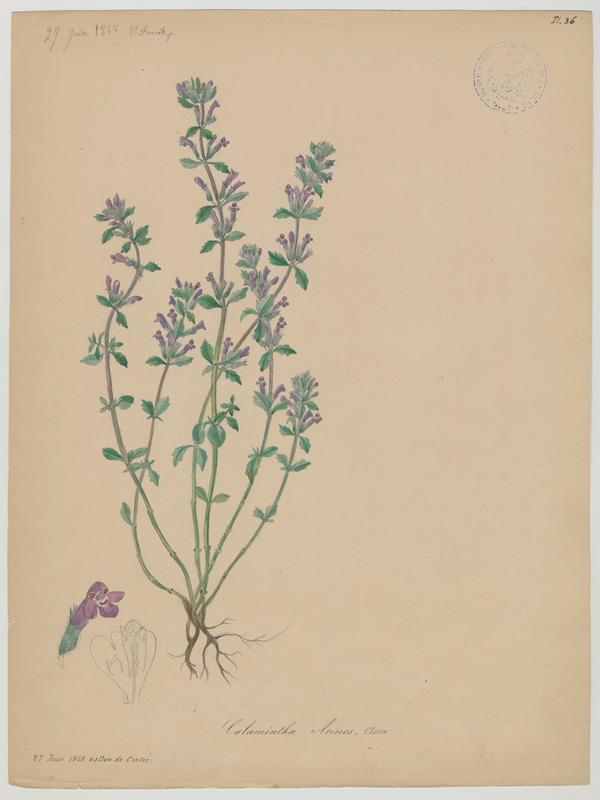 Calament des champs ; plante à fleurs