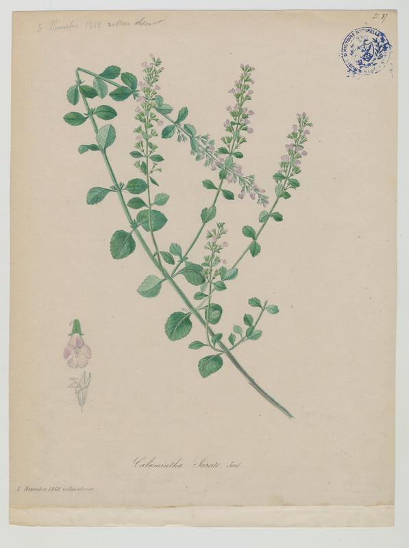 BARLA Jean-Baptiste (attribué à) : Calament, plante à fleurs