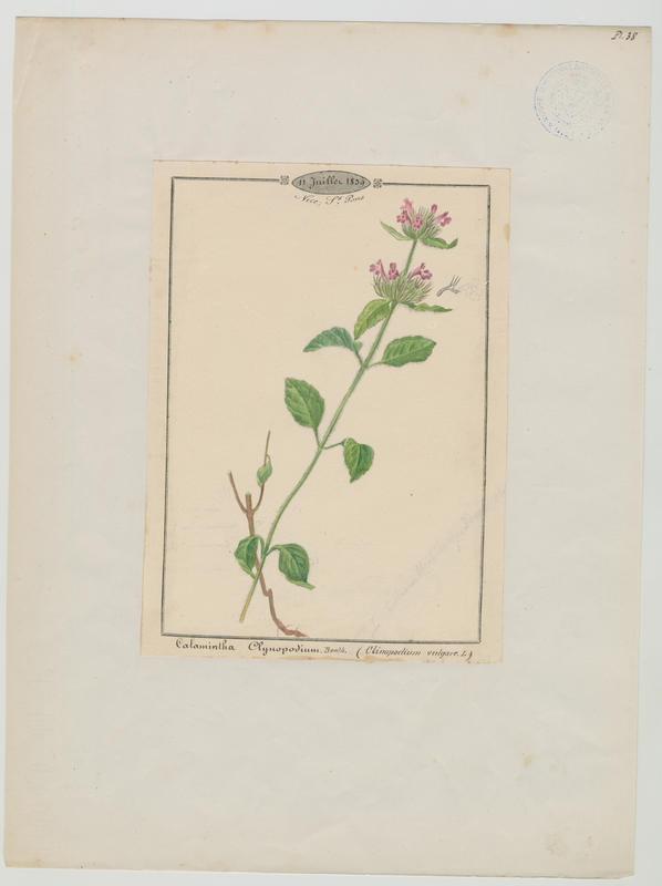 Calament clinopode ; Grand basilic ; plante à fleurs