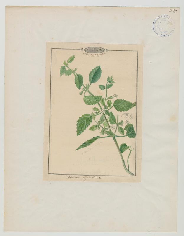 Mélisse officinale ; plante à fleurs_0