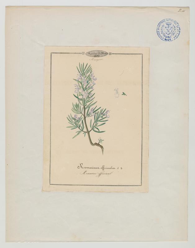 BARLA Jean-Baptiste (attribué à) : Romarin officinal, plante à fleurs