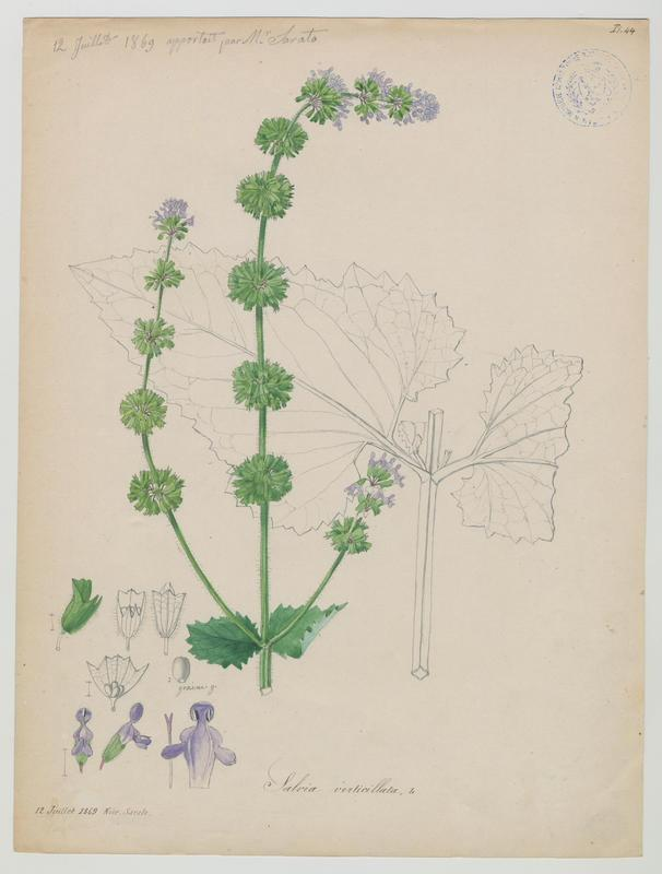 BARLA Jean-Baptiste (attribué à) : Sauge verticillée, plante à fleurs