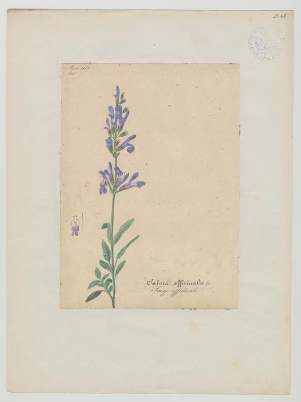 BARLA Jean-Baptiste (attribué à) : Sauge à feuilles de lavande, plante à fleurs