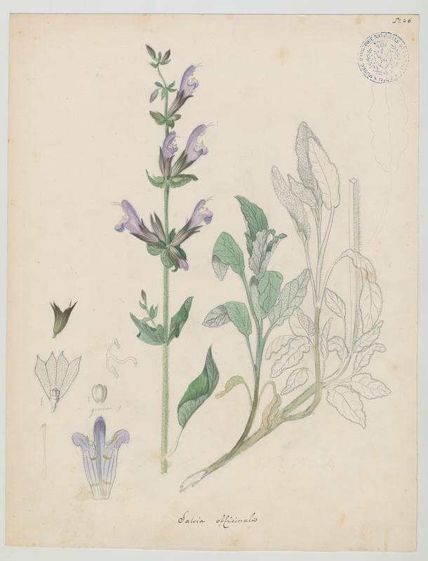 BARLA Jean-Baptiste (attribué à) : Sauge officinale, plante à fleurs