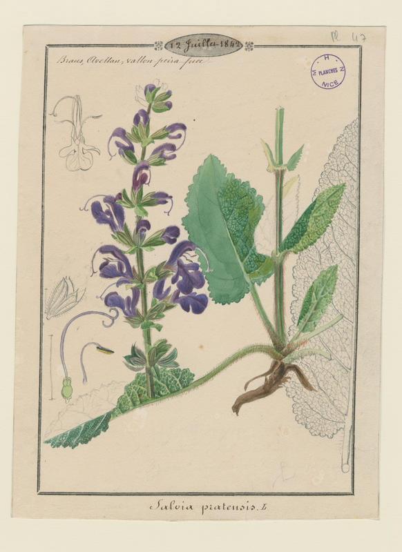 Sauge commune ; Sauge des prés ; plante à fleurs_0